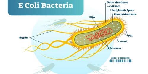 Explain Economic Importance of E Coli Bacteria