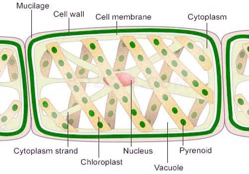 Spirogyra cell parts