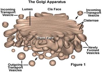 describe golgi apparatus