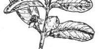 Dicotyledonous or Dicot Plants