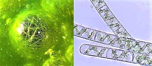 characteristics and habitat of plant spirogyra