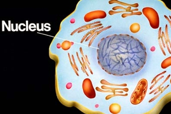 what is nucleus? - qs study, Human Body