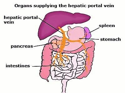 Hepatic Portal System
