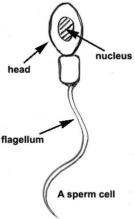 Structure of toads ovum and sperm qs study sperm the sperm of toad cannot be seen with naked eyes the spenn cell is divided into three parts such as head part middle part or neck tail part ccuart Images