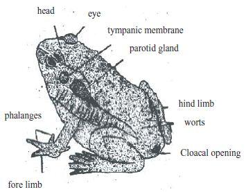 External Morphology of Toad - QS Study