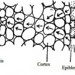 Absorption of Water by the Plant