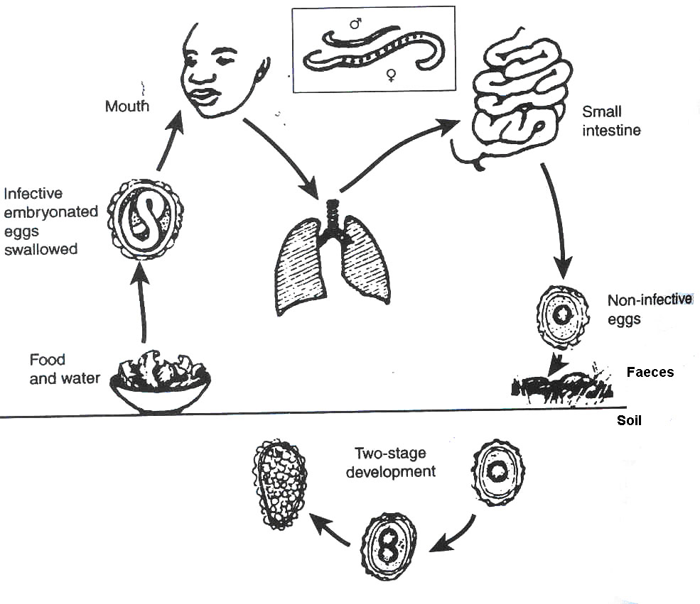 Transformation Of Roundworm In Human Body