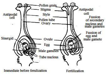 double fertilization and triple fusion pdf