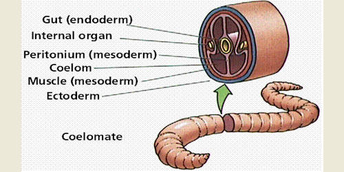 Body Wall and Body Cavity of Earthworm