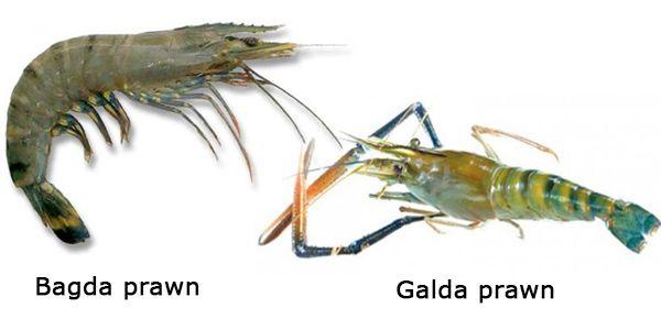 Difference between Galda and Bagda Prawn