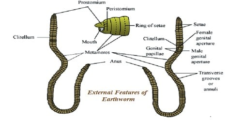 External Features of Earthworm