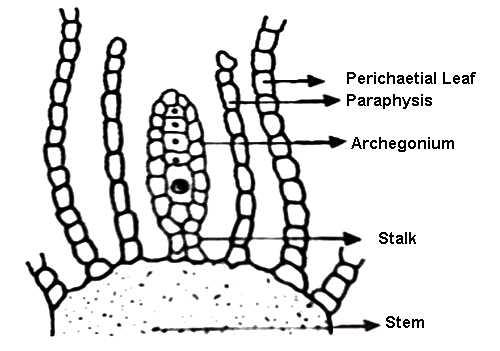 Female Reproductive Organ of Moss