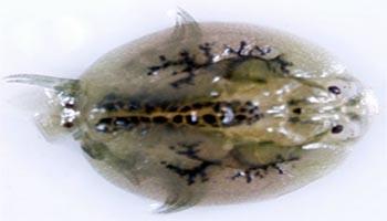 Fish lice