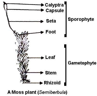 Labelled diagram of sporophyte of moss qs study labelled diagram of sporophyte of moss ccuart Choice Image
