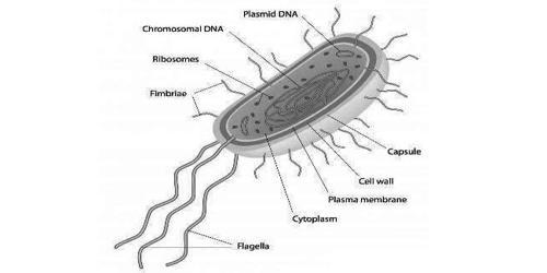 Explain Chrysophytes of Kingdom Protista