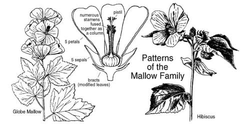 Identifying Characteristics of Malvaceae Family