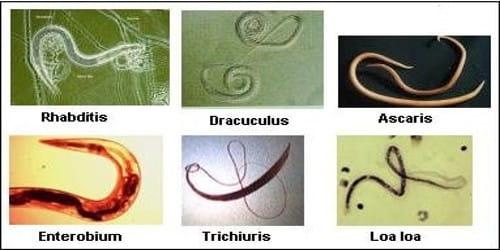 phylum aschelminthes ancylostoma)
