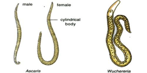 Describe on Phylum Aschelminthes