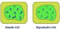 Difference between Somatic Cells and Reproductive Cells