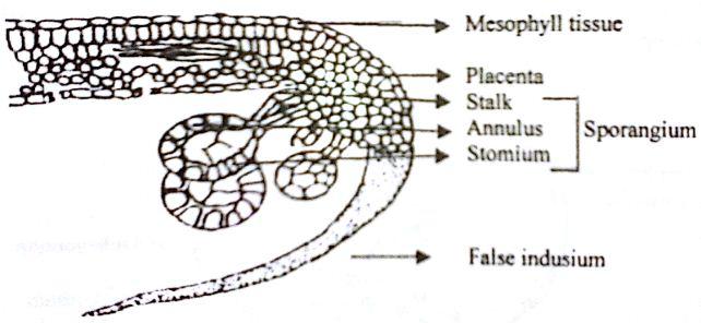 Xylem Cell Diagram