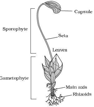 life cycle of sphagnum pdf