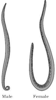 phylum aschelminthes wuchereria hogyan lehet teljesen felépülni a parazitákból