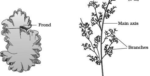 Explain On Rhodophyceae Qs Study