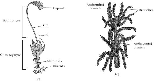 list of synonyms and antonyms of the word  sphagnum sporophyte
