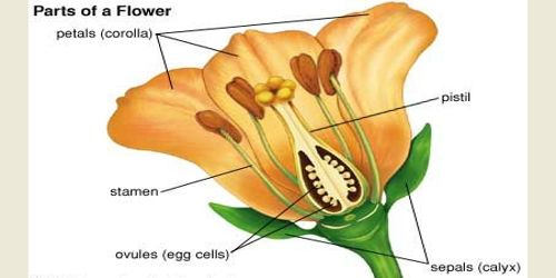 Explain Calyx and Corolla of Flower