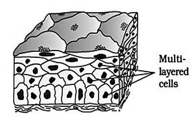 Compound Epithelium Tissue 1