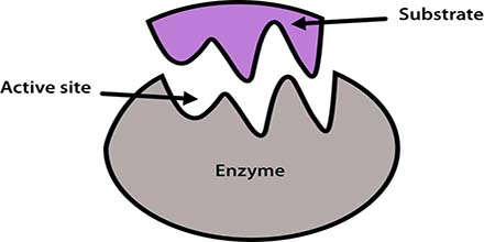 What is Co-enzyme?