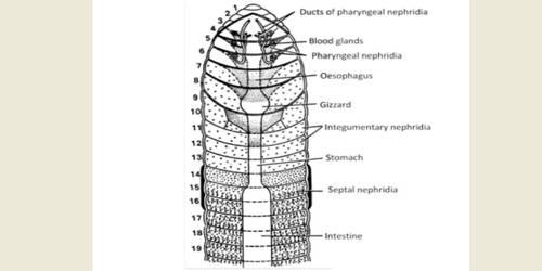 Excretory Organs of Earthworm