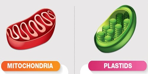 Difference between Mitochondria and Plastid