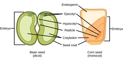 Structure of Dicotyledonous Seed
