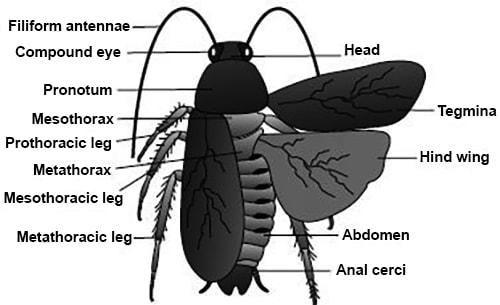 Explain Morphology of Cockroach