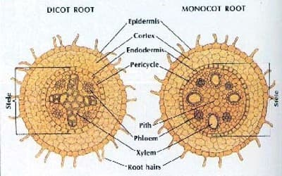 Dicot Root and Monocot Root 1
