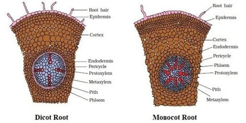 Anatomical Differences between Dicot Root and Monocot Root