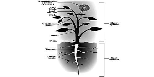Difference between Root and Stem from their Anatomical Structures