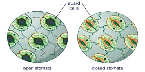Structure and Functions of Stomata