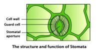 The Structure and Functions of Stomata