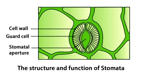 Structure-and-Functions-of-Stomata.jpg