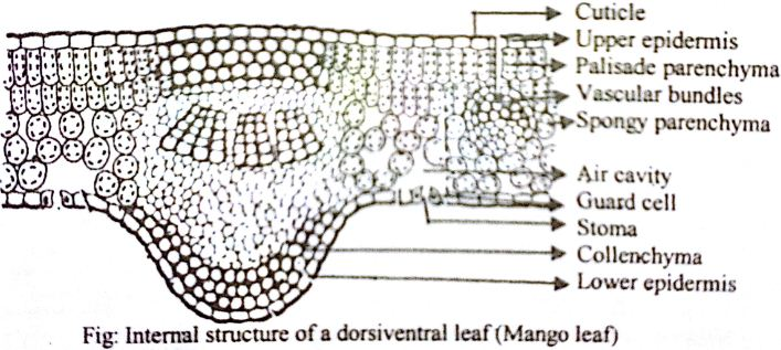 Draw A Labelled Diagram Of Internal Structure Of Dicot Leaf Qs Study