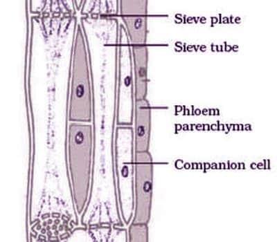 phloem tissue 1