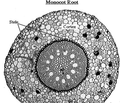 Identifying Characteristics of Internal Structure of Monocot Root