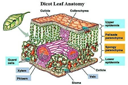 Anatomical Structure of a Dicot Leaf1