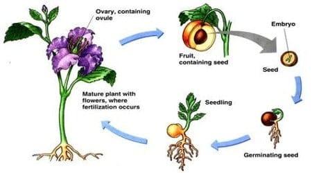 Ovule after Fertilization 1