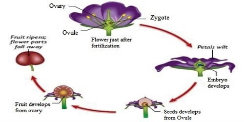 What are the changes that occur to the Ovule after Fertilization?