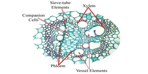 What is Vascular Bundle?