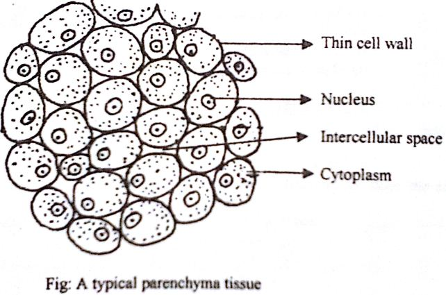 parenchyma tissue diagram 28 images parenchyma image