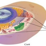 Describe Cytoplasm with Types